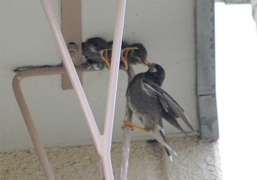 たまたま同時期(6月17日)に近所にムクドリの巣を発見しました。マンションの3Fのベランダの屋根裏に穴が開いていてそこに営巣したものです。